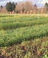 Forskerne undersøger potentielle nye efterafgrøder for deres evne til at nedsætte udvaskning af kvælstof. Foto: Elly Møller Hansen