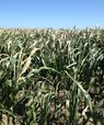 Majs er en afgrøde, der får det mere og mere svært, når klimaforandringer byder på mere tørke om sommeren. Her er en majsmark fra juli 2018. Foto: Janne Hansen