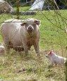 Øget dyrevelfærd er en sidegevinst af at kombinere skovlandbrug med husdyr på friland. Foto: pEcosystems